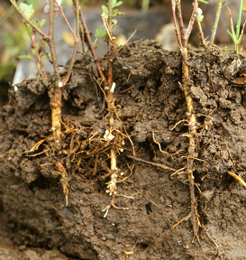 Alfalfa   plants   with Aphanomyces   seedling blight/root rot have reduced  numbers of small, fineroots. (Photo courtesy of Craig Grau)