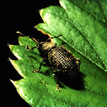 Black vine weevil adult. (Photo by David J. Shetlar)