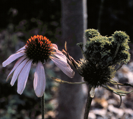 Coneflowers with aster yellows (right) often have deformed, discolored flowers.