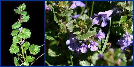 Creeping Charlie produces kidney-shaped leaves with scalloped edges on creeping stems (left) and small, bluish-purple, funnel-shaped flowers (right).