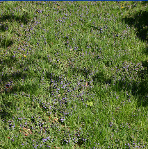Creeping Charlie rapidly invades lawns, crowding out and replacing turf.