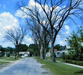 Dutch elm disease has led to the loss of the American elm as a street tree.