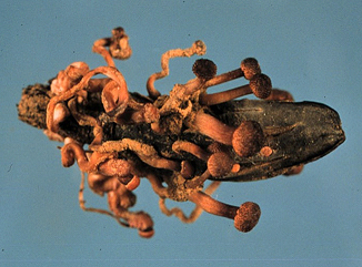 Ergot sclerotia germinate to form mushroom-like, spore-producing structures.