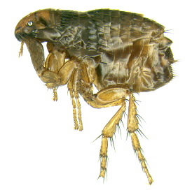 Cat fleas are brown and flattened, and have large hind legs (see arrow).