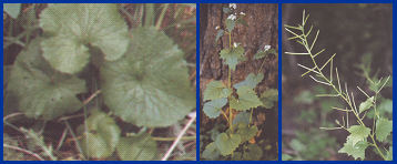 Garlic mustard: First year rosette (left), second year plant with flowers (middle), and mature plant with seed pods (right).