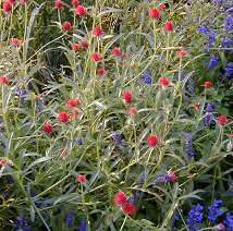 Combine rose-flowered globe amaranth with blue-flowered salvia in the garden.