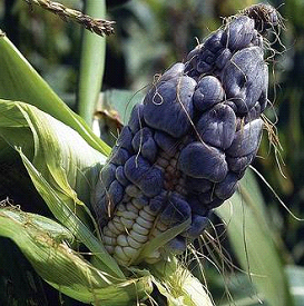 Huitlacoche can be an excellent source of carbohydrates, proteins, fats, vitamins and minerals. (photo courtesy of CIMMYT)