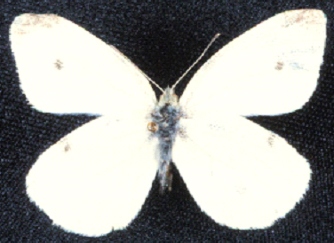 An imported cabbageworm adult.