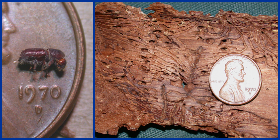 Adult Ips bark beetles are small, cylindrical, brown insects (left), and damage trees by producing an extensive network of feeding tunnels (right).