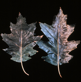 Marginal leaf bronzing or tanning is often an early symptom of oak wilt.