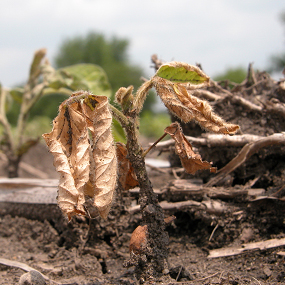 Post-emergence damping-off of soybean seedlings due to Phytophthora root and stem rot.  (photo courtesy of Craig Grau)