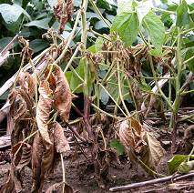 Brown stem discoloration and plant death (with leaves remaining attached) is typical of Phytophthora root and stem rot.  (photo courtesy of Craig Grau)
