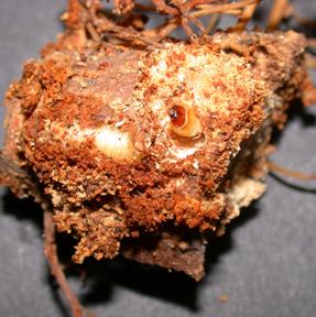 A pine root collar weevil larva.