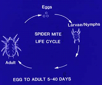 Spider mite life cycle. (Photo courtesy of R. Lindquist, OARDC.)