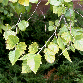 High soil pH can lead to a yellowing of tissue between leaf veins.