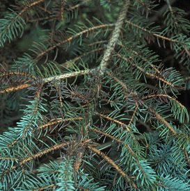 Browning of interior spruce needles caused by Rhizosphaera needle blight.