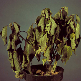Wilting of poinsettia associated with Pythium root rot.