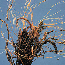 Brown discoloration of roots typical of root rots.