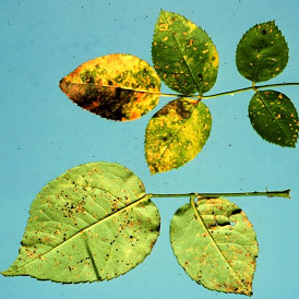 Yellow spots on upper leaf surfaces with corresponding powdery, orange to black spots on lower leaf surfaces are typical of rose rust.