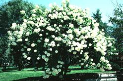 Hydrangea paniculata 'Grandiflora' (PeeGee hydrangea) in summer bloom.
