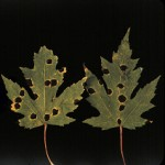 Symptoms of tar spot on silver maple leaves.