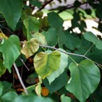 Sudden yellowing, wilting and death of leaves and branches, particularly starting in one section of a tree or shrub, is a typical symptom of Verticillium wilt.