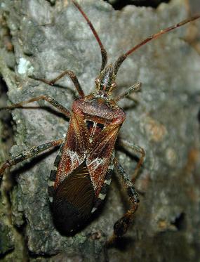 A Western conifer seed bug.