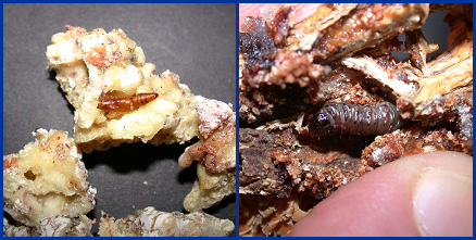 Zimmerman pine moth pupa (left) and larva (right) embedded in masses of pine pitch.