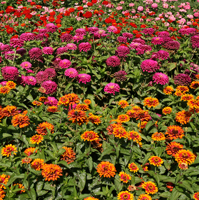 Zinnias can be a bright-colored addition to any garden, particularly when planted in mass.