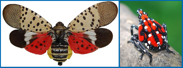 Spotted lanternfly adult (left) and nymph (right). (Photos courtesy of Lawrence Barringer, Pennsylvania Department of Agriculture)
