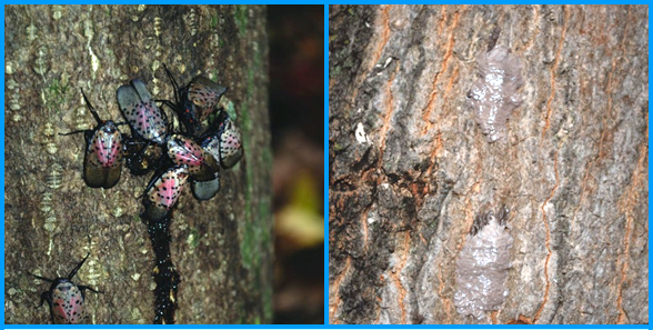 A cluster of adult spotted lanternflies on tree of heaven (left), and egg masses of spotted lanternfly covered by waxy deposits (right). (Photos courtesy of Lawrence Barringer, Pennsylvania Department of Agriculture)
