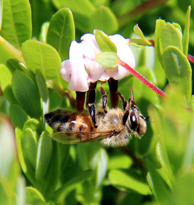 Proper pollination is important for successful cranberry production. (Photo courtesy of Johnston's Cranberry Marsh & Muskoka Lakes Winery, Ontario, Canada).