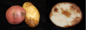 Late Blight on Potato Tubers, photo courtesy of Prof. Amanda Gevens