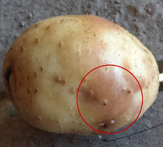 Pink eye is characterized by a pink discoloration of the skin of potato tubers.