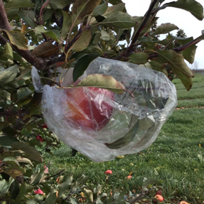 Bagging apples can reduce fruit damage due to insects and diseases. (Photo courtesy of Janet van Zoeren)